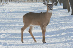 Shaded Whitetail Deer On Winter Trail Stock Images