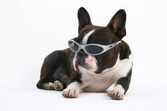 Shades. Boston terrier with sunglasses on Royalty Free Stock Photo