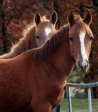 Shades of Autumn. Two arabain colts with autumn colors behind them Stock Photo