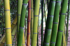 Shades of bamboo Royalty Free Stock Images