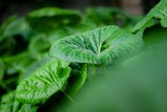 Shades and blurs are the frame of some green leaves. Of an alocasia bush royalty free stock photos