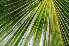 Shades of green after the rain. Raindrops on the leaf of a palm tree Stock Photos
