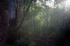 Shades of light in the forest. Lights and shadows between the trees in Tasmania royalty free stock image