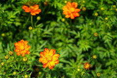 Shades of orange and yellow color Cosmos sulphureus among green Royalty Free Stock Images