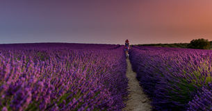 Shades of Purple. Dog walking in the Lavender fields of Valensole, Provence, France Royalty Free Stock Photo