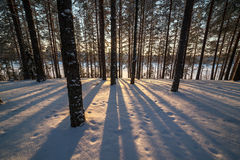 Shades from trees in winter forest on the snow Stock Photo