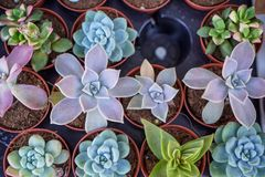 Shades of vintage green Kalanchoe, succulent plant, in brown pot on blurred black table background, top view, selective focus royalty free stock images