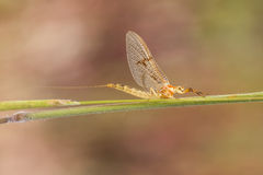 Shadflies Stock Photography