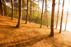 Shadow. Of pine at morning Royalty Free Stock Images