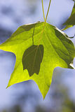 Shadow. Of small leaf behind larger leaf against blue sky background Stock Photo