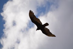 Shadow appears in the sky. The silhouette of the vulture during hunting Royalty Free Stock Photography