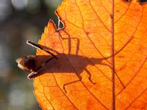 Shadow. The shadow of the autumn leaf, bugs Royalty Free Stock Image