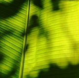 Shadow on banana leaf Stock Images