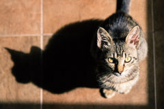 The Shadow is Bigger but I'm Smarter - In Colour. A tabby European Shorthair kitten and his shadow in the light from a window Royalty Free Stock Photography