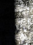 Shadow on the birch Stock Photography
