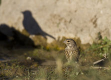 Shadow of a Bird. Cirl bunting and the shadow of another bird royalty free stock images