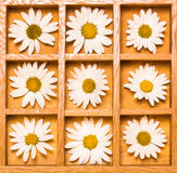Shadow box with white daisies Stock Image