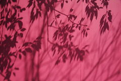 Shadow of Branches on a Pink B. The shadow of a tree's branches and leaves on a painted pink wooden wall Royalty Free Stock Photo