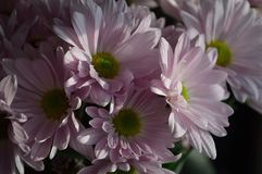 Shadow bright contrast Pink Daisies. A shadow and bright contrast, vase of beautiful, pink daisies with soft rounded petals royalty free stock photos