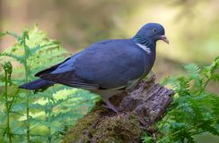 Shadow Common wood pigeon sits on old trunk with moss and ferns all around stock photo