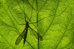 Shadow of Cranefly or daddy-long-legs Stock Photo
