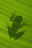 Shadow of Cuban treefrog on backlit green leaf Stock Photo