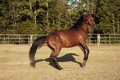 Shadow Dancer. Arabian stallion rearing up with shadow Royalty Free Stock Photos