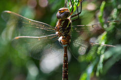 Shadow Darner Royalty Free Stock Photos