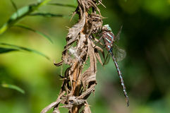 Shadow Darner. Hanging from a dead thistle plant stock photos