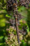 Shadow Darner Stock Image