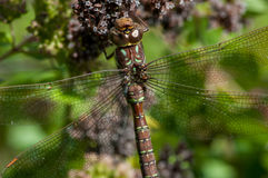 Shadow Darner. Hanging from flowers stock photo