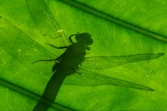 Shadow of dragonfly stock photography