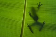 Shadow Frog Stock Image