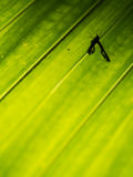 Shadow of Insect on The Chinese Fan Palm Stock Photos