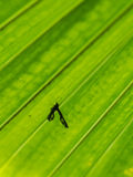 Shadow of Insect on The Chinese Fan Palm Stock Photography