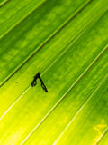 Shadow of Insect on Fan Palm Stock Photography