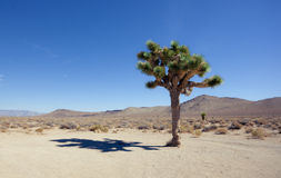 Shadow of the Joshua Tree Royalty Free Stock Photo