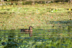 Female greenhead. Female mallard swimming in a shadow Stock Images