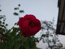 Dark Rose will bloom Stock Image