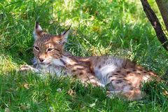 Shadow lynx. Beautiful Eurasian lynx (Lynx lynx) on a bright and sunny day in a green field Stock Photos