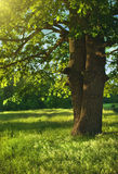 In shadow of oak tree Royalty Free Stock Photo