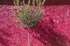 The shadow of an olive tree at a pink wall Aegina island Greece Stock Images