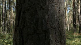 Shadow on a pine in a forest stock footage