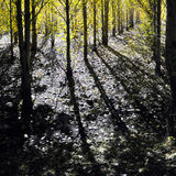 Shadow of Poplar Trees. The trees threw long shadows in the sunlight Royalty Free Stock Images