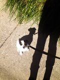 Shadow puppy dog on leash looking up at person. A little puppy sitting / healing learning to go for a walk on a sunny fall day royalty free stock photography