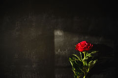 Shadow of a red peony by natural light Royalty Free Stock Photography