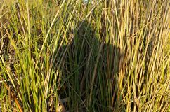 Shadow in reeds Royalty Free Stock Photos