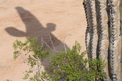 Shadow of the saguaro. Shadow cast on the ground by a Saguaro cactus. The bush adds of touch of desert appeal royalty free stock photography