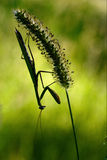 Shadow  side  praying mantis Stock Photo