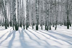 Birch forest in the snow. Shadow in the snow from the birch forest royalty free stock images